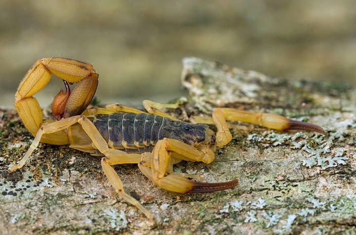Brazilian yellow scorpion (Tityus serrulatus)