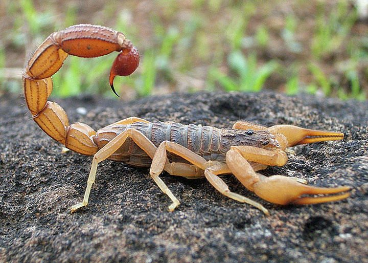 Indian Red Scorpion (Hottentotta Tamulus)