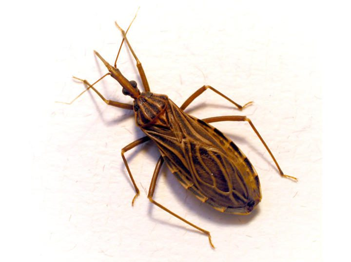 Kissing bug - chagas