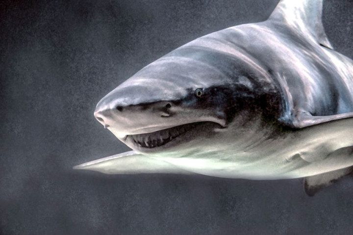 Sand Tiger Shark / Grey Nurse