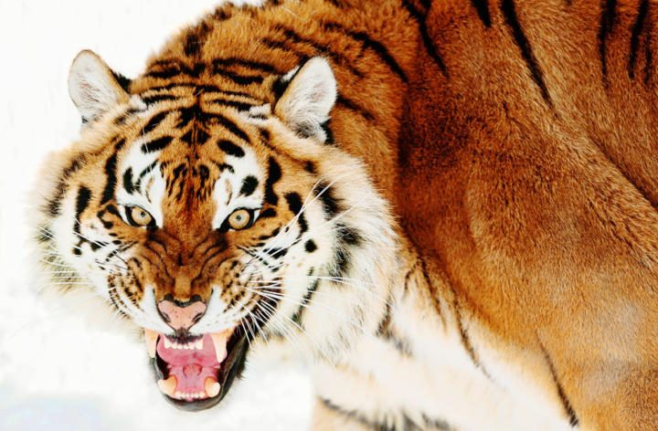Siberian tiger - the biggest tiger